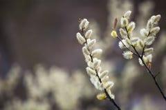 Piękne gałąź z żółtymi kwiatami kwitnącymi obraz royalty free