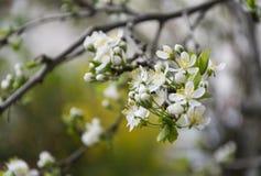 Piękne gałąź z okwitnięciem na śliwkowym drzewie Obraz Stock