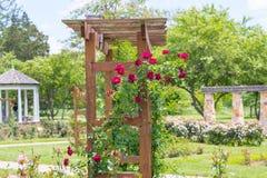 Piękne kolorowe wspinaczkowe róże w wiośnie w ogródzie zdjęcie royalty free