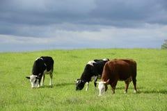 Piękne krowy na zielenieją pole Fotografia Royalty Free