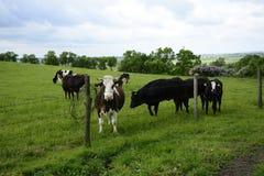 Piękne krowy na zielenieją pole Obrazy Royalty Free