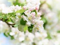 Piękne kwiatonośne jabłonie Zdjęcia Stock