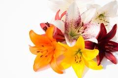 piękne kwiaty, świeże Czułość i przyjemny odór Ogrodowe leluje obrazy stock
