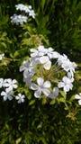 piękne kwiaty, białe Fotografia Royalty Free