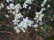 piękne kwiaty, białe Obraz Royalty Free