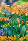 piękne kwiaty ogrodu Jaskrawi tulipany w wiosna parku Miastowy krajobraz z dekoracyjnymi roślinami zdjęcia stock