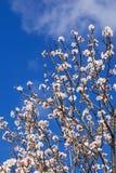 piękne kwiaty wiśnie Zdjęcie Royalty Free