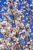 piękne kwiaty wiśnie Zdjęcia Stock