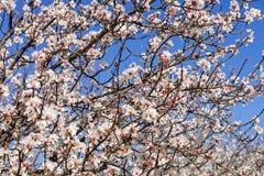 piękne kwiaty wiśnie Zdjęcia Royalty Free