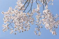 Piękne kwitnące Japońskie czereśniowe gałąź Zdjęcia Stock