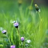 Piękne kwitnące stokrotki w wiosny łące (Stary fotografia obiektyw) Zdjęcie Stock