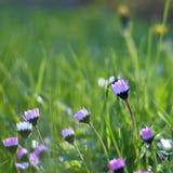 Piękne kwitnące stokrotki w wiosny łące (Stary fotografia obiektyw) Zdjęcia Stock
