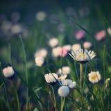 Piękne kwitnące stokrotki w wiosny łące (Stary fotografia obiektyw) Obraz Stock
