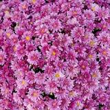 piękne kwitnienia kwiatu menchie Obraz Royalty Free