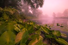 Piękne leluje na jeziorze Fotografia Stock