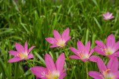 Piękne małe menchie Padają leluja płatki na świeżym zielonym liniowym liściu, dosyć malutki żywy koronowy kwitnienie pod ranku św fotografia stock