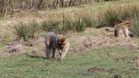 Piękne małpy Je od ziemi jak kaczek Chodzą Past - Barbary makaki zbiory wideo