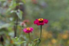 Piękne menchie i żółty kwiat Obraz Royalty Free