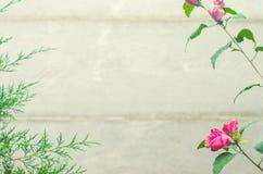 Piękne menchie kwitną i tuja na szarym tle, marsz 8, b Zdjęcie Royalty Free