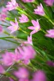 Piękne menchie kwitną po tym jak podeszczowa przerwa Fotografia Royalty Free