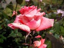 Piękne menchie kwitną zakrywają z wodnymi kropelkami z liśćmi w tle Fotografia Royalty Free
