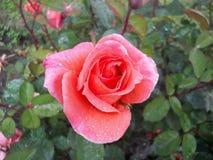 Piękne menchie kwitną zakrywają z wodnymi kropelkami z liśćmi w tle Zdjęcia Royalty Free
