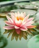 Piękne menchie waterlily, lotosowy kwiat w stawie lub zdjęcia royalty free