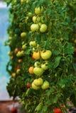 Piękne naturalne rosnąć rośliny pomidor Zdjęcie Royalty Free