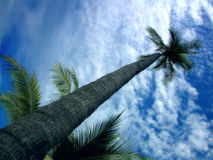 piękne niebieskie niebo drzewo kontra palm Obraz Stock
