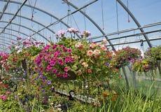 Piękne obwieszenie rośliny w szklarni Zdjęcie Royalty Free