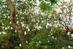 Piękne okwitnięcie azalie zdjęcie stock