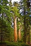 piękne park narodowy sekwoi sekwoje Obrazy Royalty Free