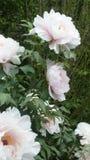 Piękne peoni róże zdjęcia royalty free