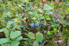 Piękne pieczarki latają bedłki rośli na krawędzi sosnowego lasu zdjęcia stock