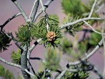 Piękne Pinion sosny przy Uroczystym jarem obrazy royalty free