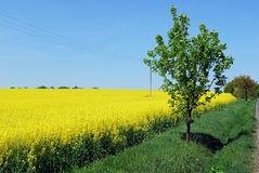 piękne pole żółty Obraz Royalty Free