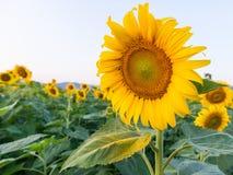 piękne pole słonecznik Obraz Royalty Free