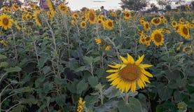 piękne pole słonecznik Zdjęcie Royalty Free