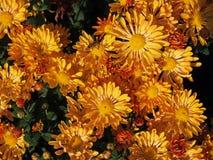 Piękne pomarańczowe chryzantemy Zdjęcia Royalty Free