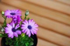 Piękne purpurowe stokrotki z przestrzenią dla teksta Obraz Royalty Free