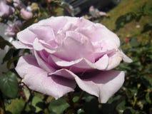 Piękne purpury kwitną zakrywają z wodnymi kropelkami z liśćmi w tle Obrazy Royalty Free