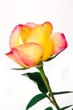 piękne róże Fotografia Royalty Free