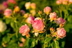 Piękne róże w świętym obrazy stock