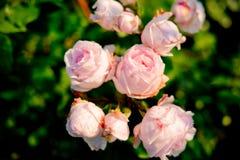 Piękne róże w świętym zdjęcie royalty free