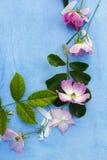 Piękne różowe balerin róże na błękicie malowali tło Zdjęcia Stock
