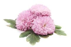 Piękne różowe chryzantemy zdjęcia royalty free