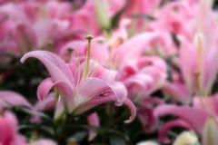 Piękne różowe leluje w ogródzie Fotografia Stock