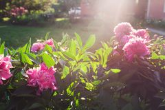 Piękne różowe peonie w ogródzie obraz stock