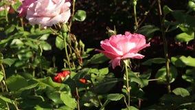 piękne różowe róże zbiory