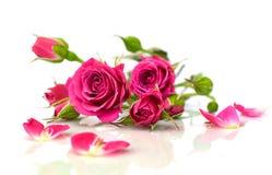 Piękne różowe róże z odbiciem Obraz Royalty Free